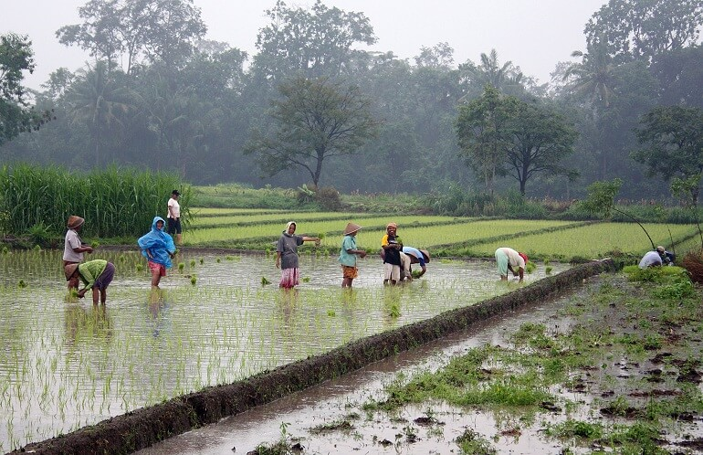 Так Яванцы высаживают рис