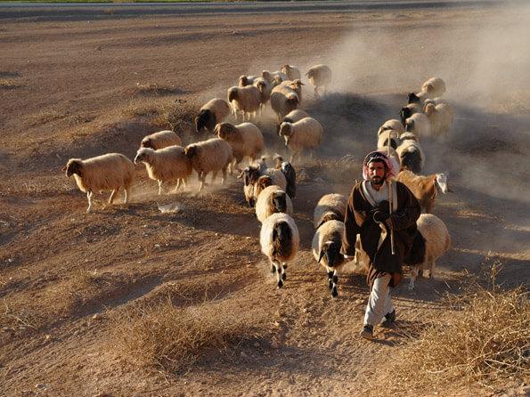 Издавна сирийцы занимаются скотоводством