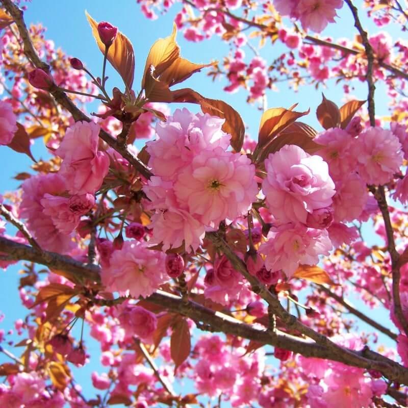 Для японцев цветки сакуры символизируют быстротечность жизни