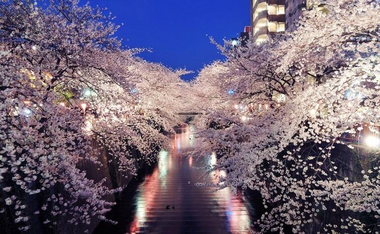 Пора цветения сакуры - короткое, но волшебное время