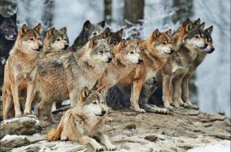 Волчьи праздники