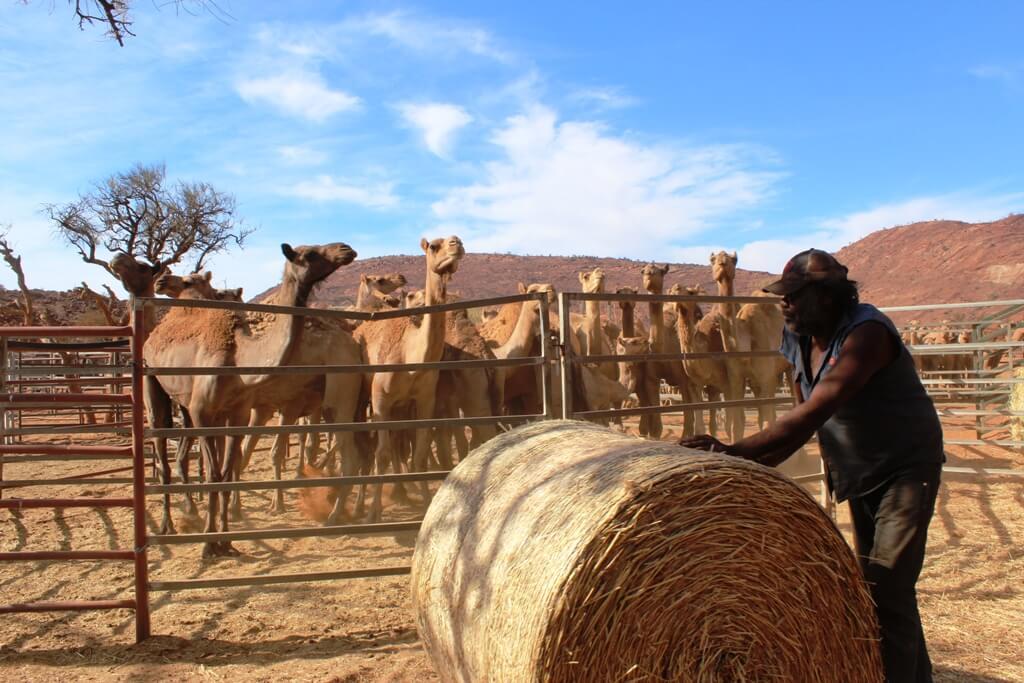 Коренной скотовод на Диком верблюжьем сборе на обезьяньих землях Южной Австралии.