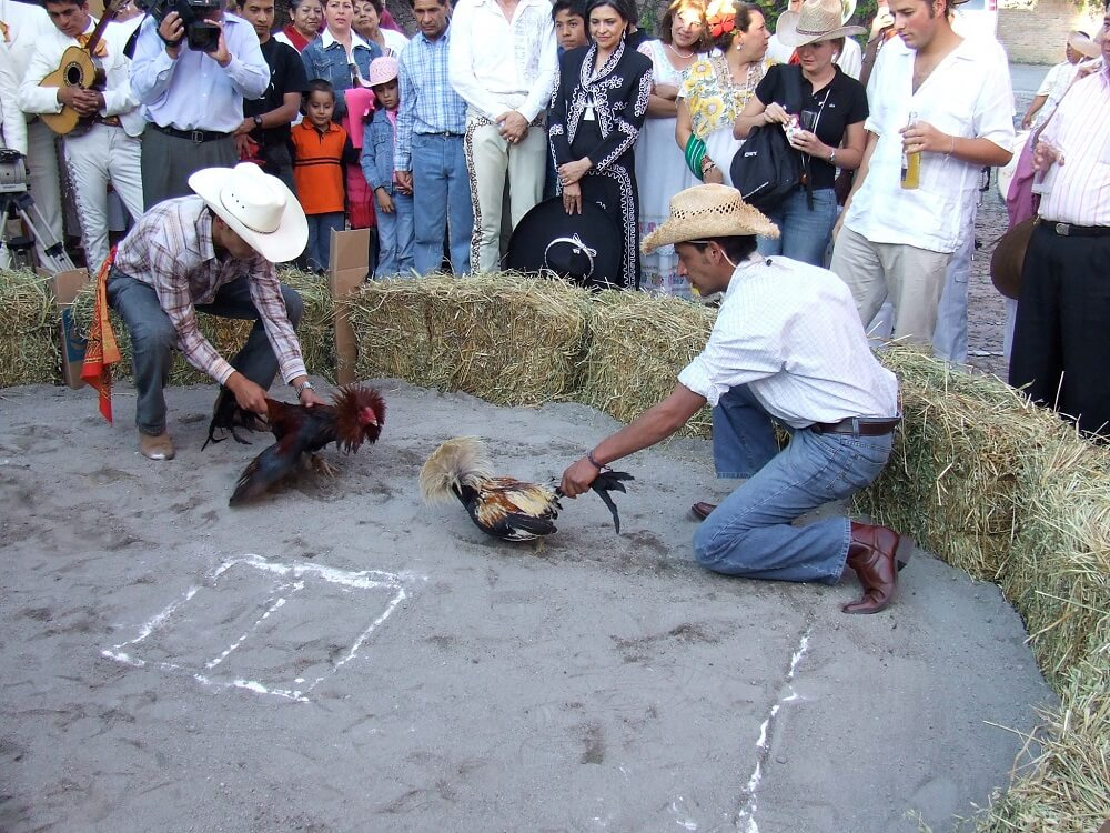 Петушиные бои Мексика