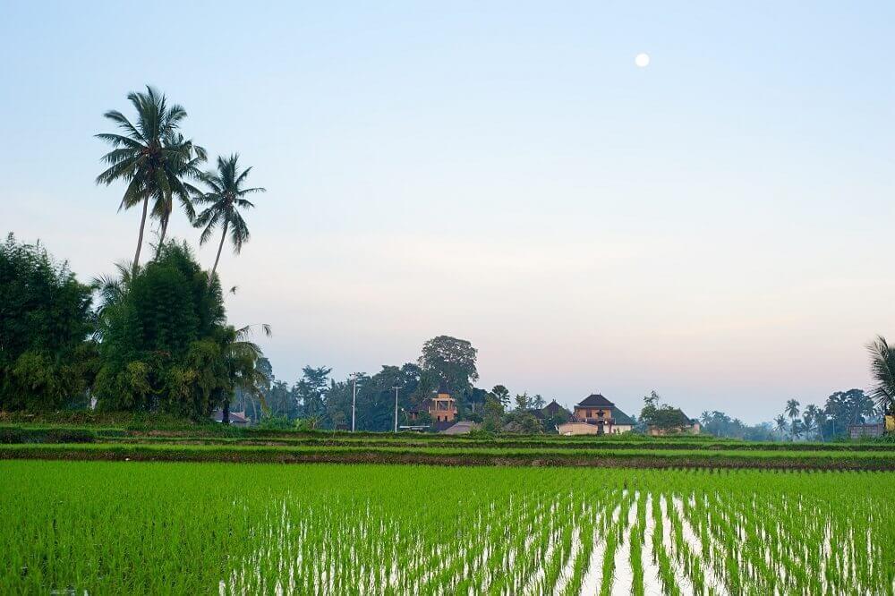 Бали рисовые поля