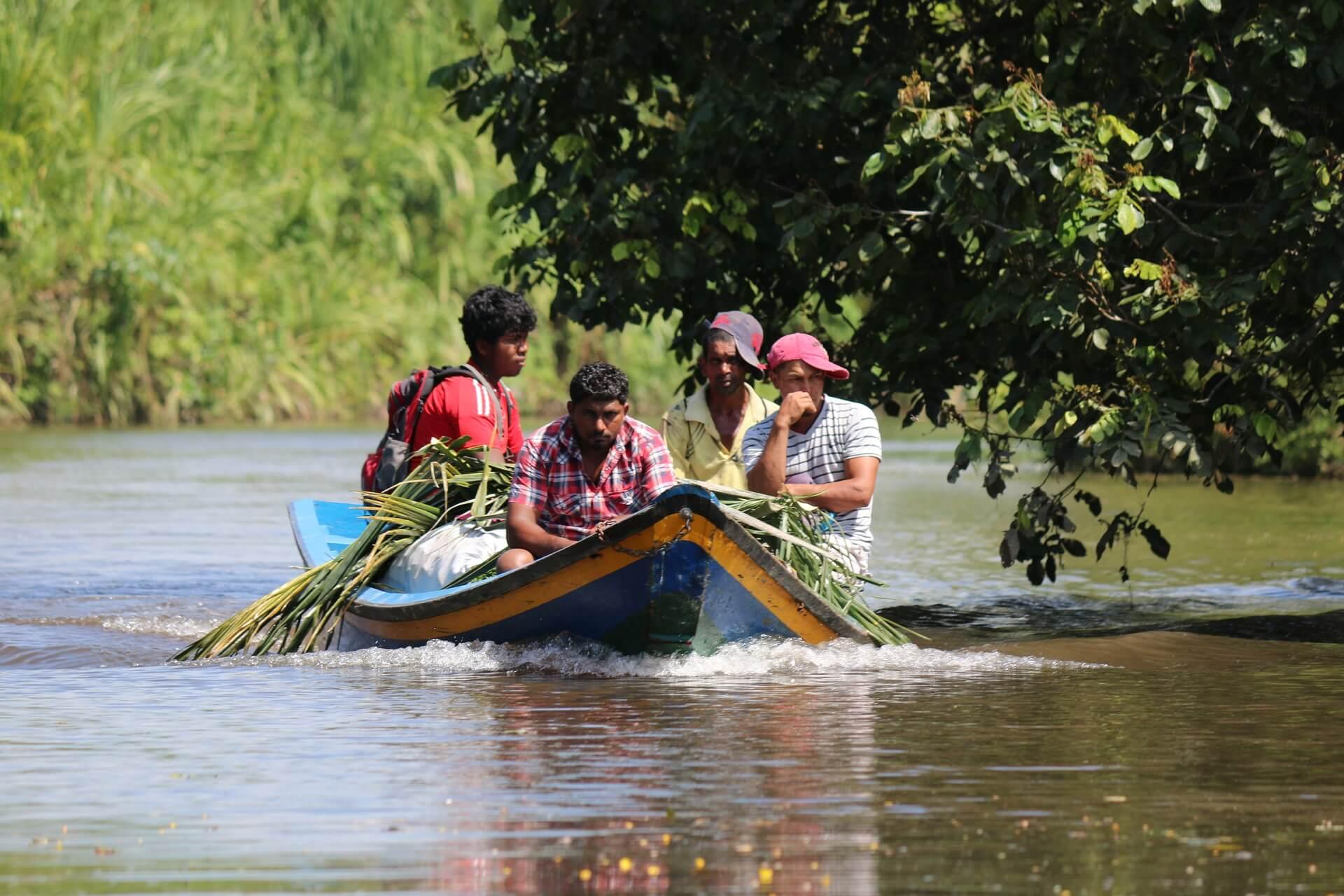 Гайанцы собирают тростник