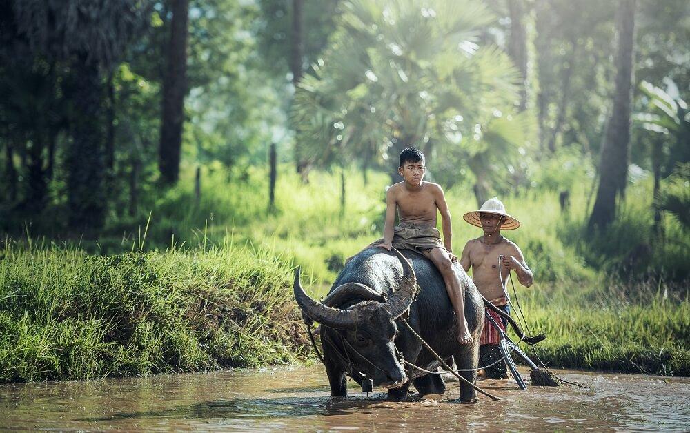 Как и много веков назад индонезийцы занимаются земледелием и животноводство