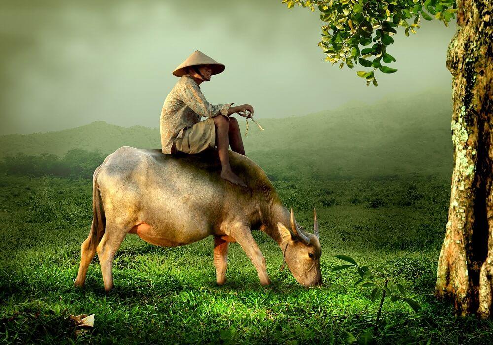 Пастух вьетнамец