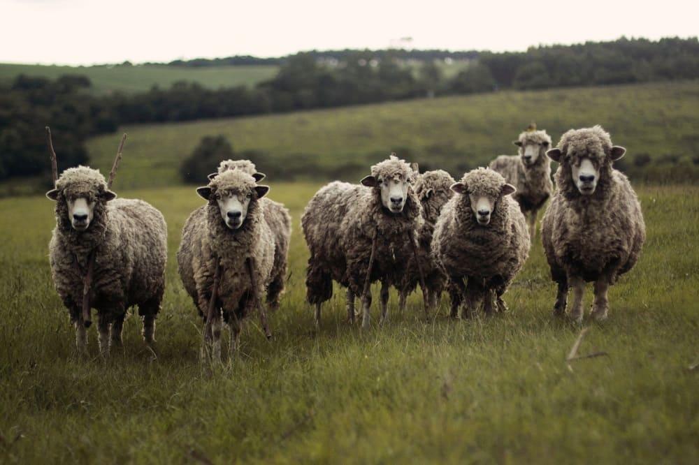 Овцеводство - традиционное занятие сибирских татар / pexels.com