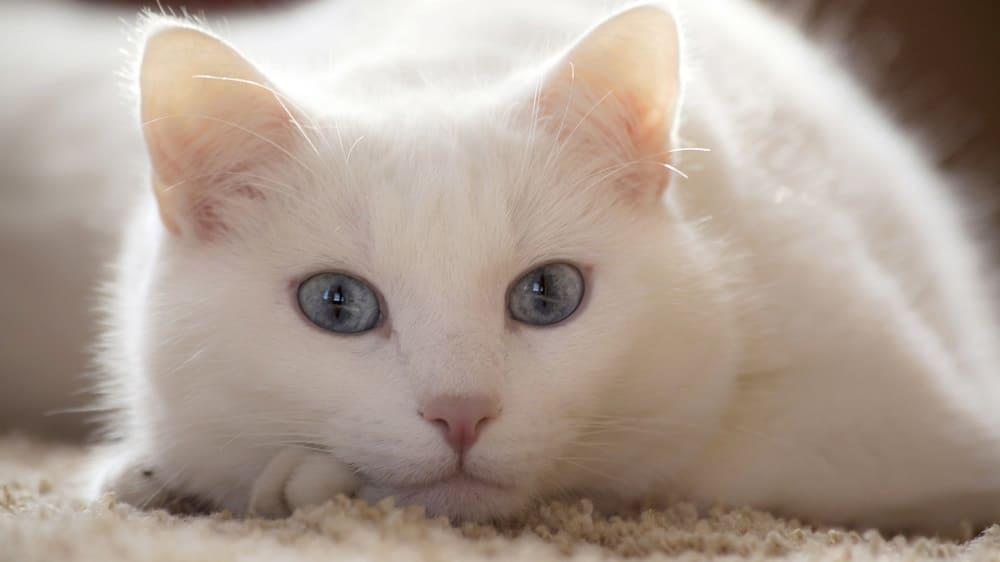 Белая кошка символизирует чистоту и свет / nastol.com.ua