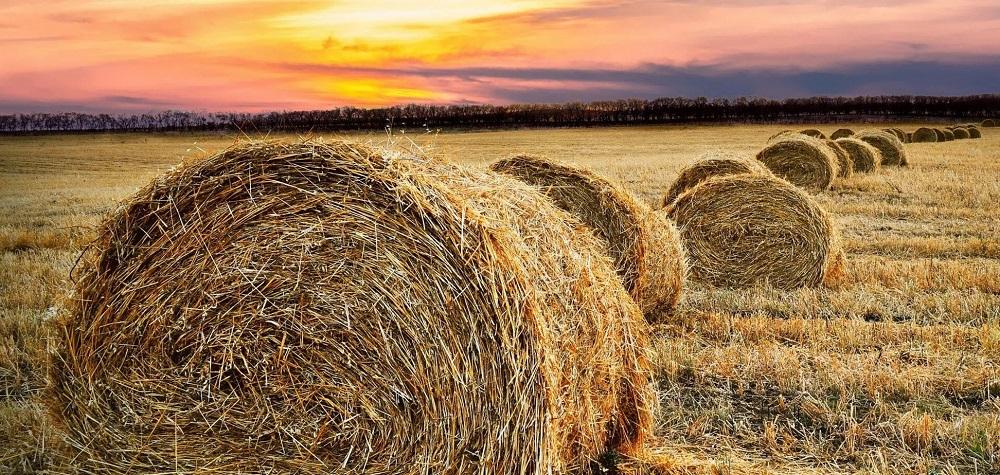 Многие обряды Дня Снопа Велеса были связаны с пшеницей obozrevatel.com