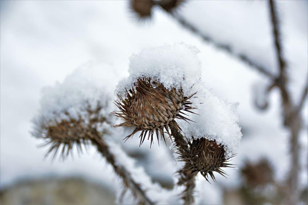 Сухой колючий чертополох защищал поля от проделок злых колдунов / © Tabea7 / pixabay.com