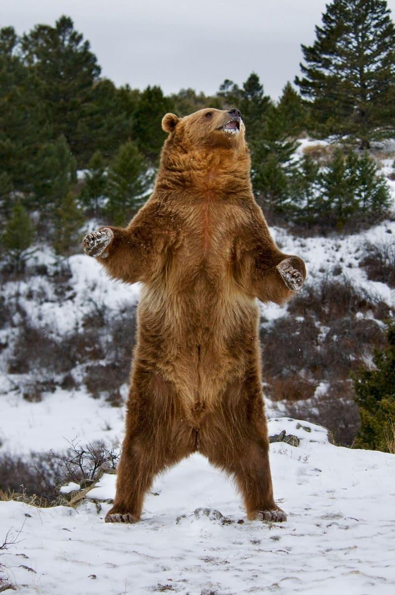 Не исключено, что за снежного человека принимали медведя / © Scott E Read / funart.pro