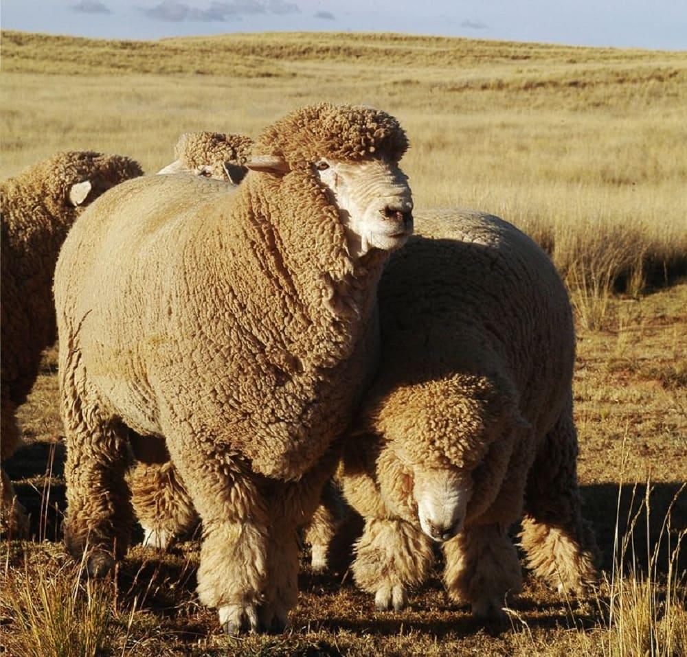 Самый лучший материал для изготовления бурки - шерсть андийской породы овец / agrohoz.by