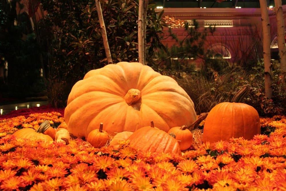 Специально для Хэллоуина выращивают большие тыквы, которыми к празднику украшают город / oir.mobi
